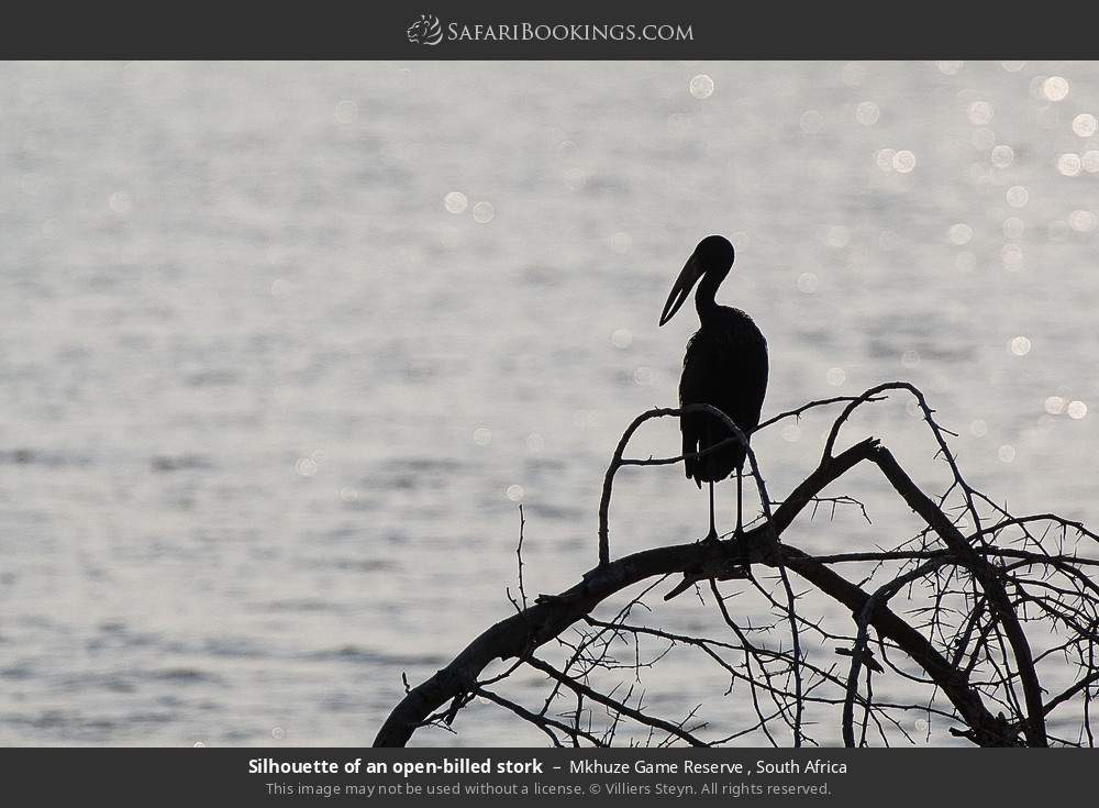 Silhouette of an open-billed stork in Mkhuze Game Reserve , South Africa