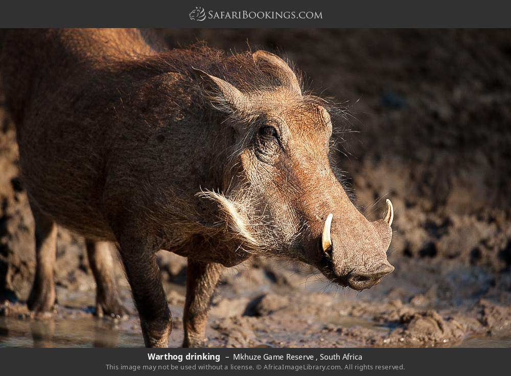 Warthog drinking in Mkhuze Game Reserve , South Africa
