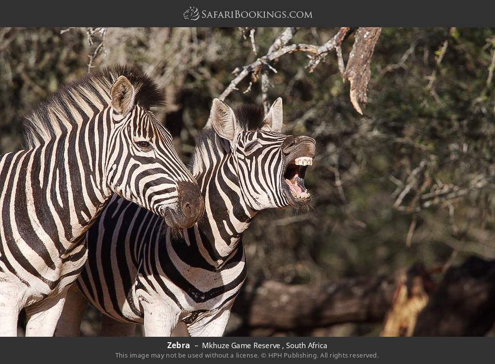 Zebra in Mkhuze Game Reserve , South Africa