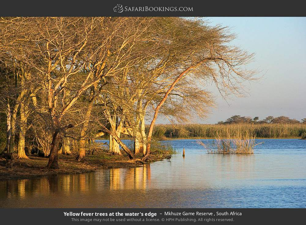 Yellow fever trees at the water's edge in Mkhuze Game Reserve , South Africa