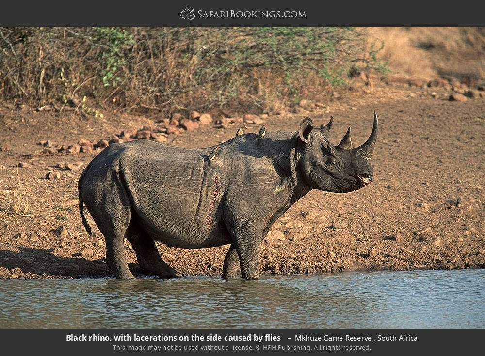 Black rhino, with lacerations on the side caused by flies  in Mkhuze Game Reserve , South Africa
