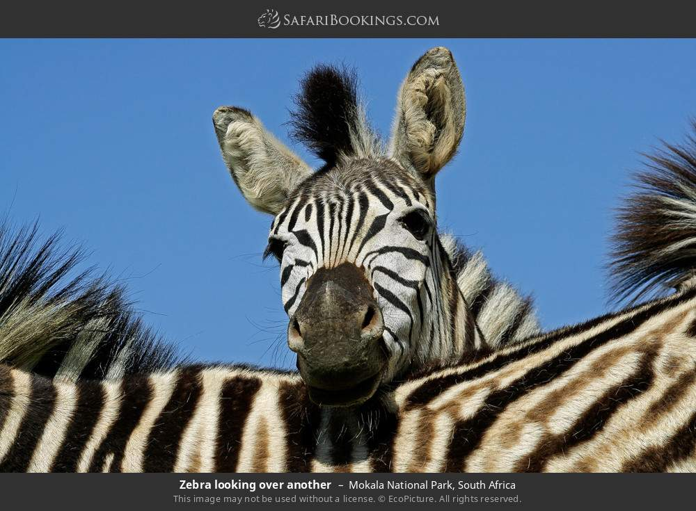 Zebra looking over another in Mokala National Park, South Africa