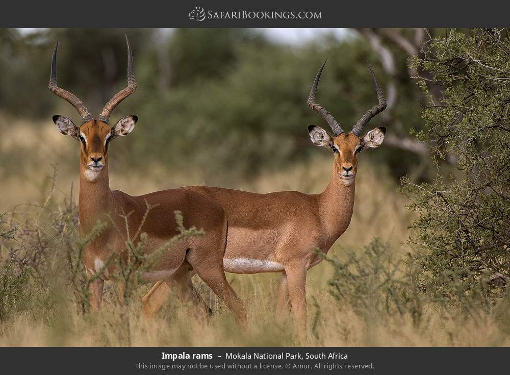 Impala rams in Mokala National Park, South Africa