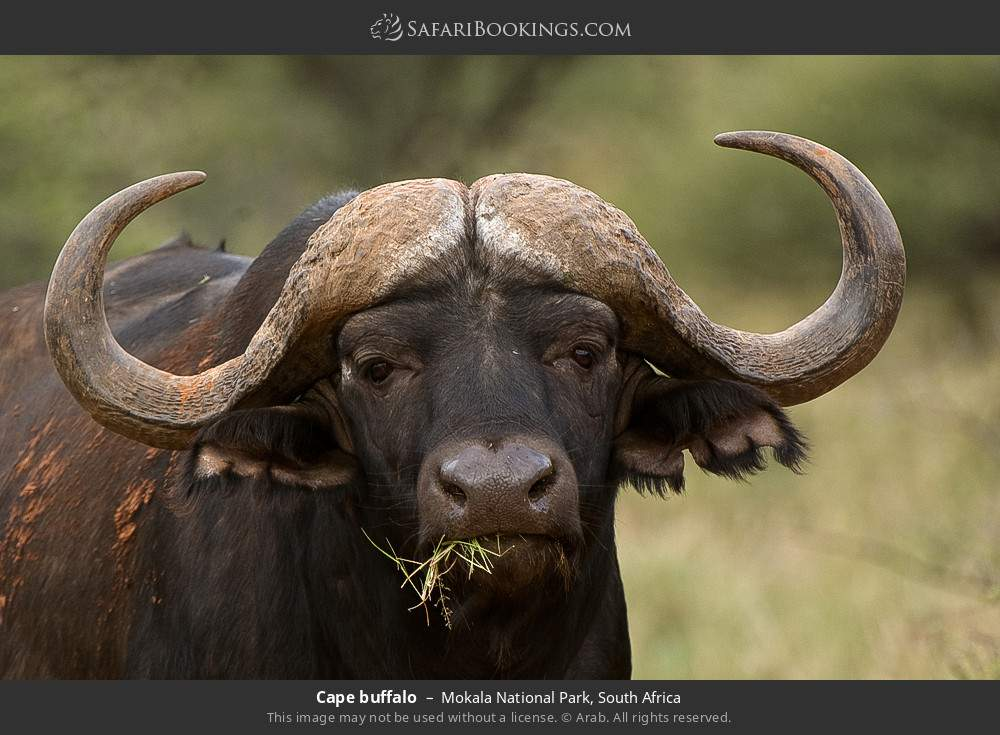 Cape buffalo in Mokala National Park, South Africa