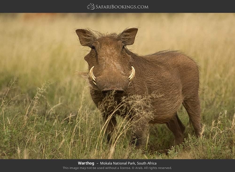 Warthog in Mokala National Park, South Africa