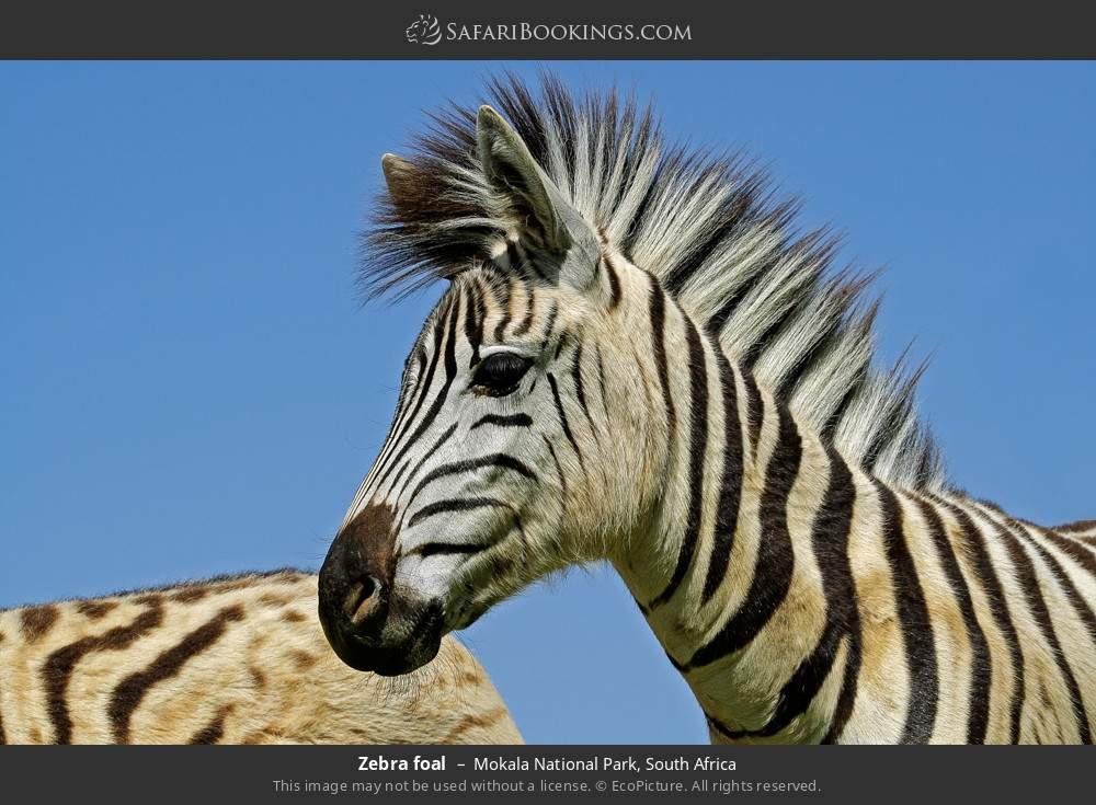 Zebra foal in Mokala National Park, South Africa