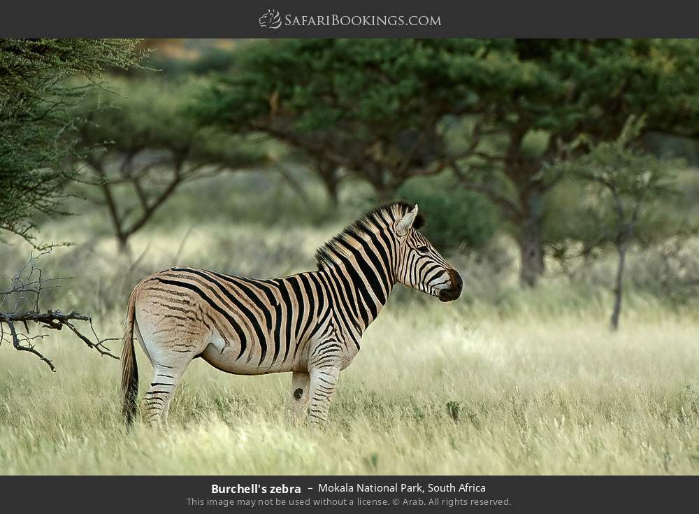 Burchell's zebra in Mokala National Park, South Africa