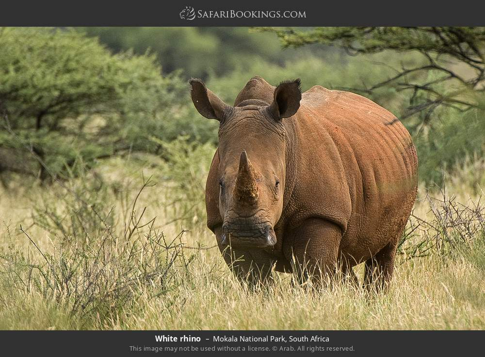 White rhino in Mokala National Park, South Africa