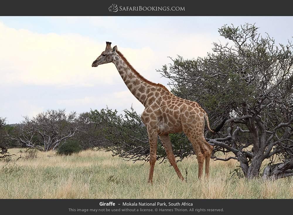Giraffe in Mokala National Park, South Africa