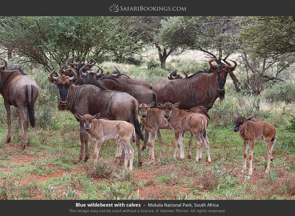 Blue wildebeest with calves in Mokala National Park, South Africa