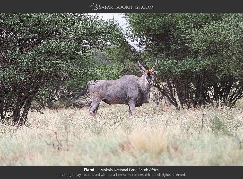 Eland in Mokala National Park, South Africa
