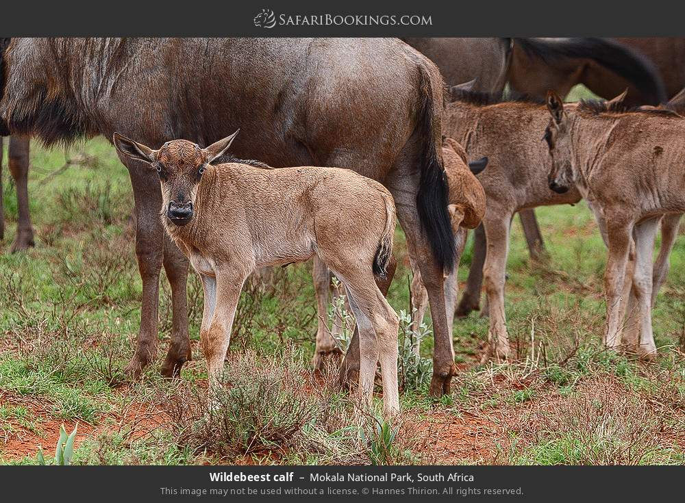 Wildebeest calf in Mokala National Park, South Africa