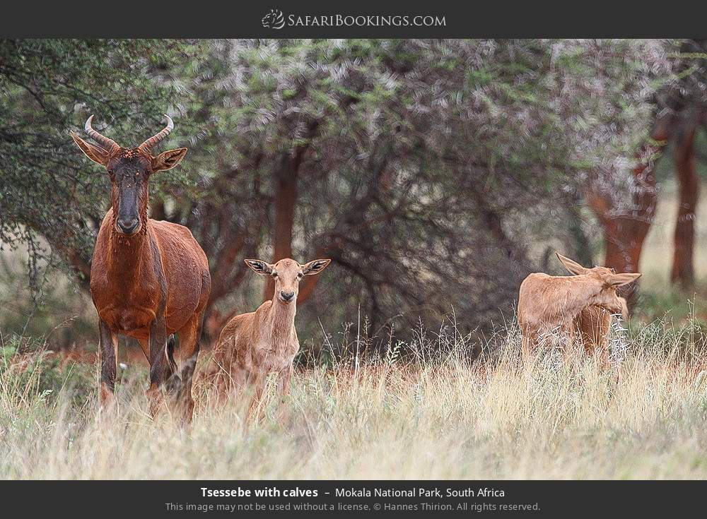 Tsessebe with calves in Mokala National Park, South Africa