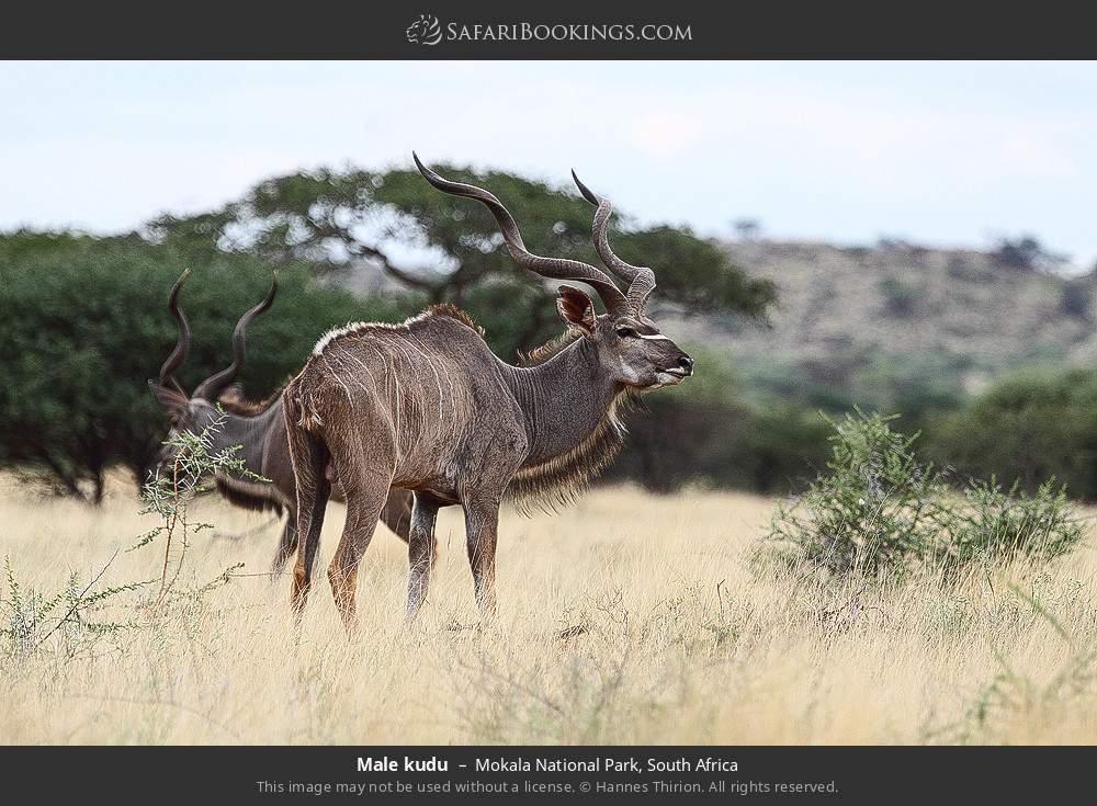 Male kudu in Mokala National Park, South Africa