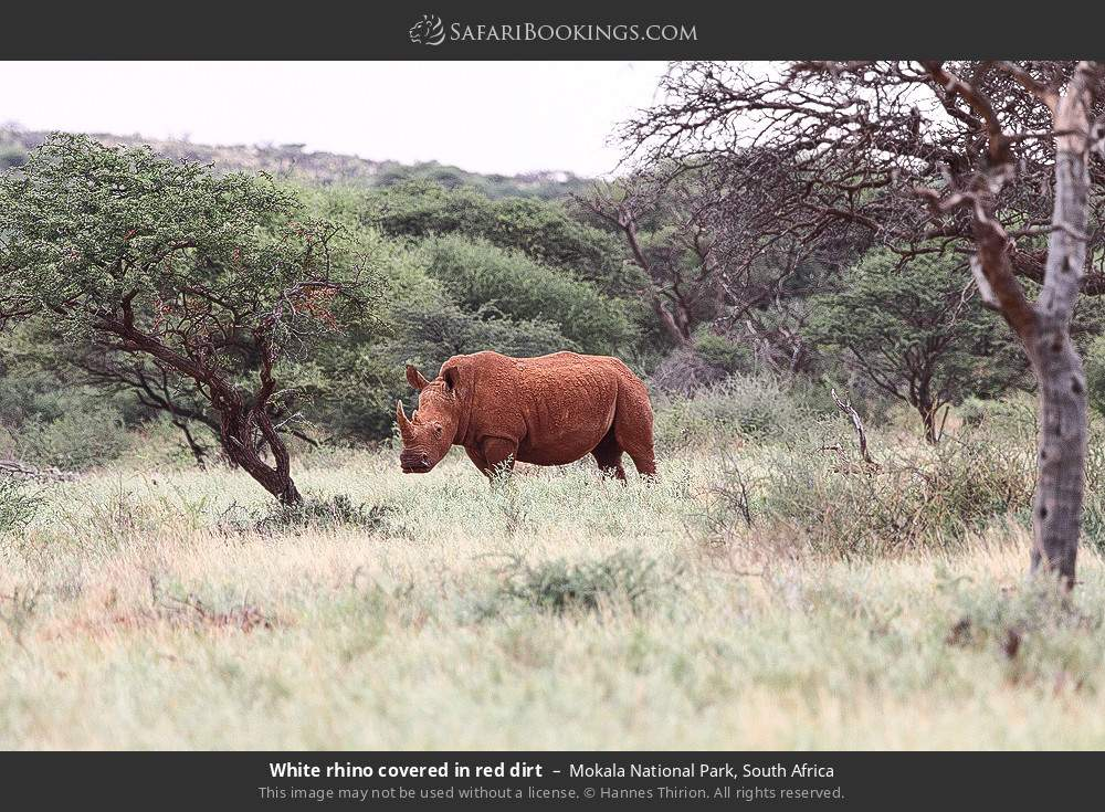 White rhino covered in red dirt in Mokala National Park, South Africa