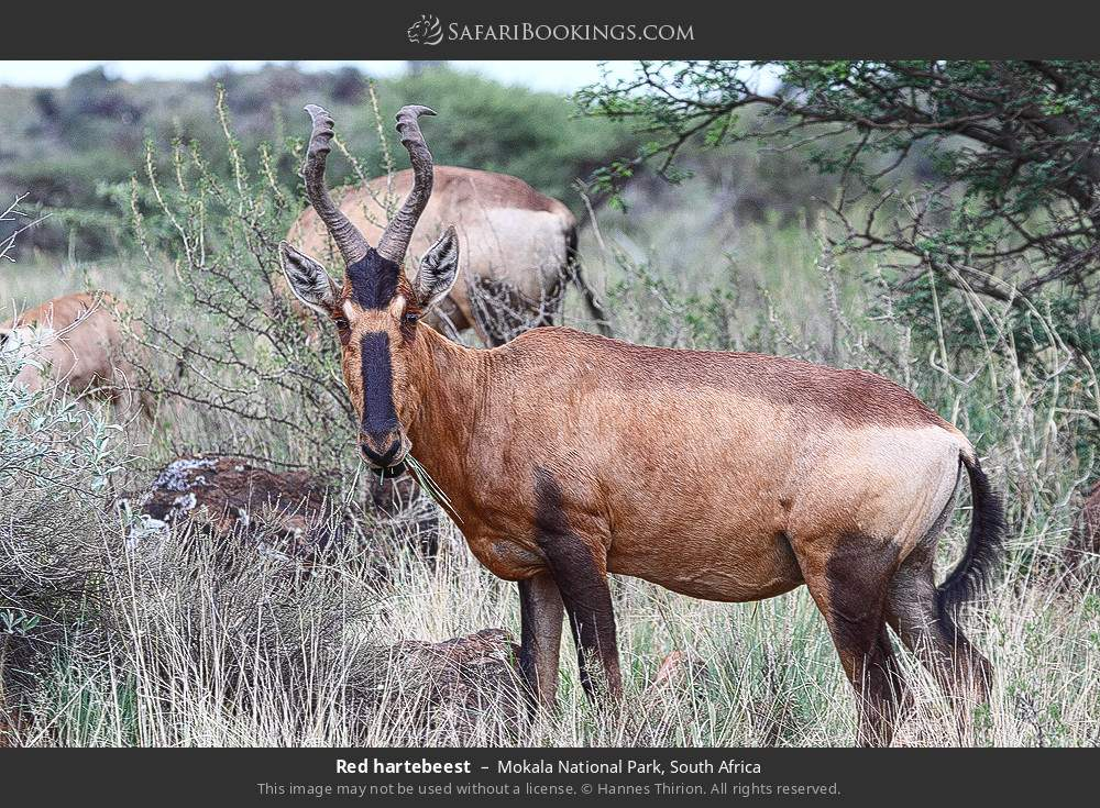 Red hartebeest in Mokala National Park, South Africa