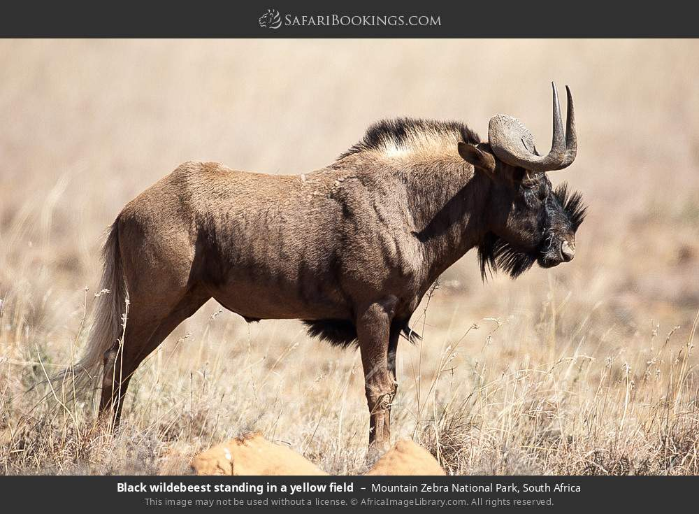 Black wildebeest standing in a yellow field in Mountain Zebra National Park, South Africa