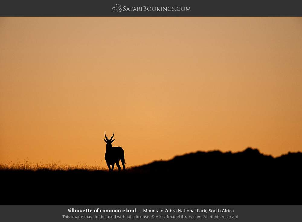 Silhouette of Common eland in Mountain Zebra National Park, South Africa