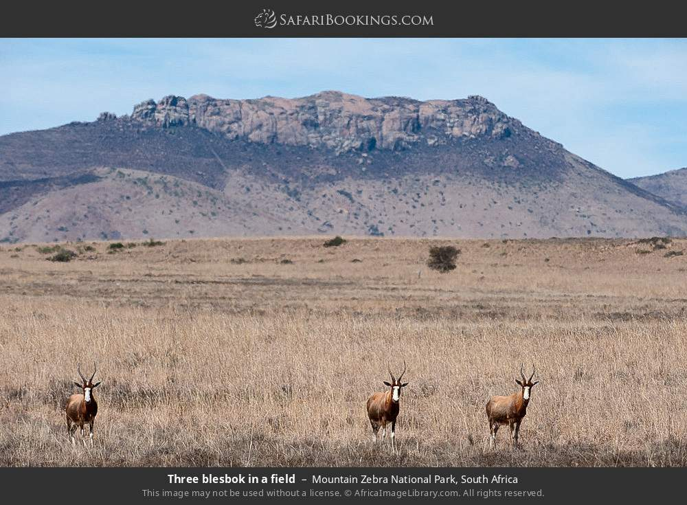 Three blesbok in a field in Mountain Zebra National Park, South Africa