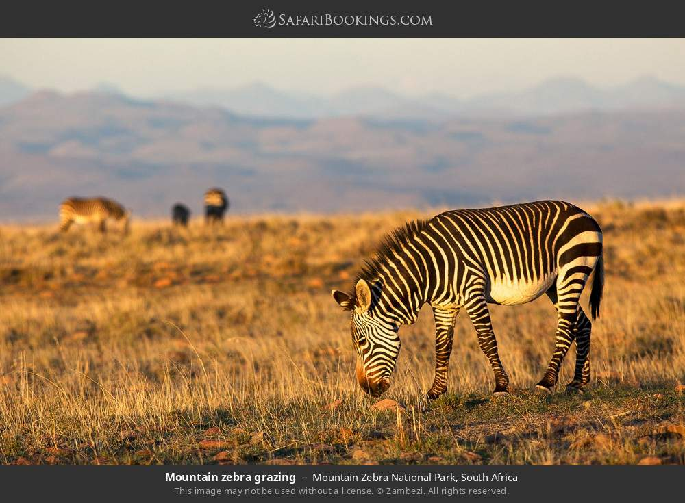 Mountain zebra grazing in Mountain Zebra National Park, South Africa
