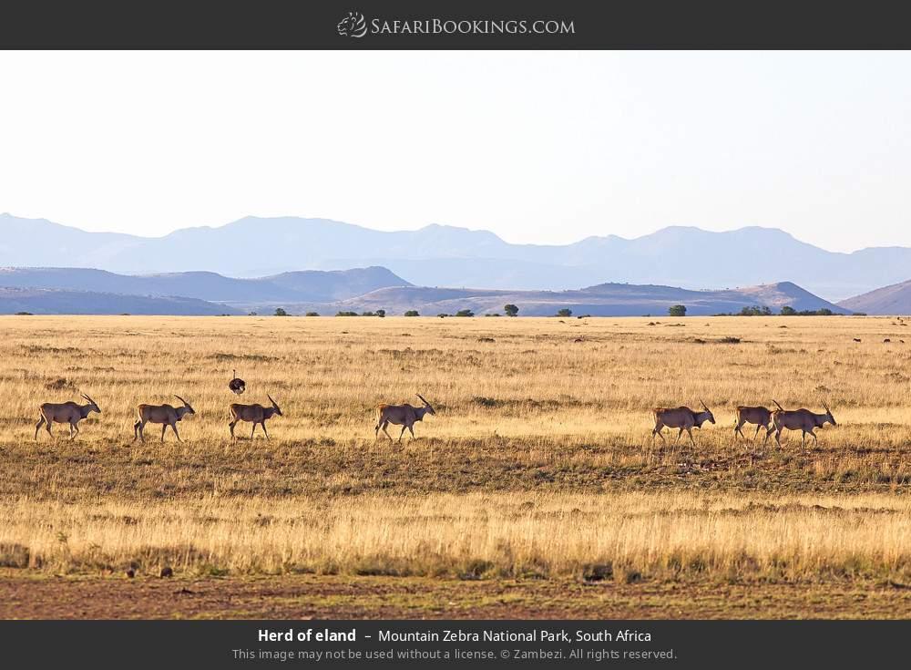 Herd of eland in Mountain Zebra National Park, South Africa