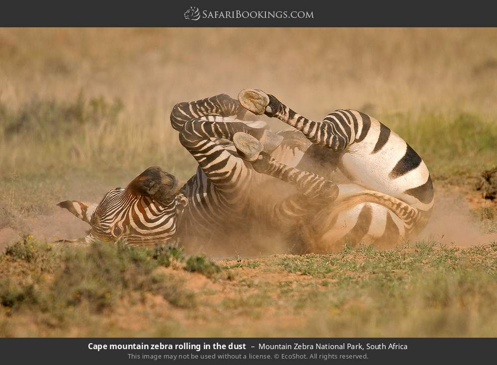 Cape mountain zebra rolling in the dust in Mountain Zebra National Park, South Africa