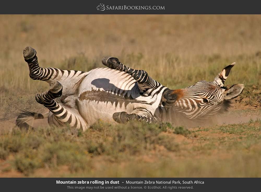 Mountain zebra rolling in dust in Mountain Zebra National Park, South Africa