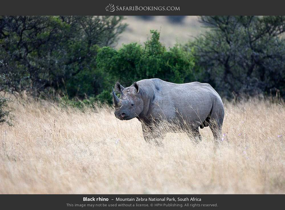 Black rhino in Mountain Zebra National Park, South Africa