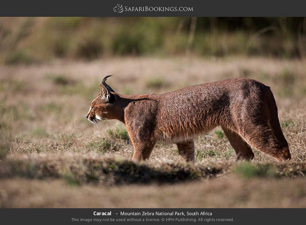 Caracal  in Mountain Zebra National Park, South Africa