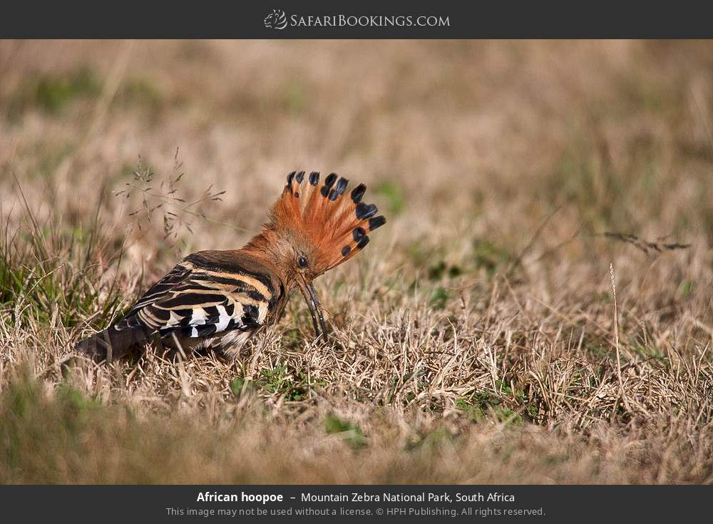 African hoopoe in Mountain Zebra National Park, South Africa
