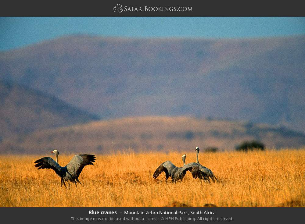 Blue cranes in Mountain Zebra National Park, South Africa