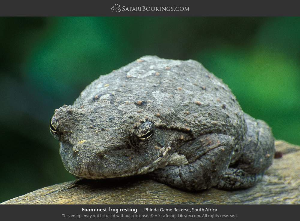 Foam-nest frog resting in Phinda Game Reserve, South Africa