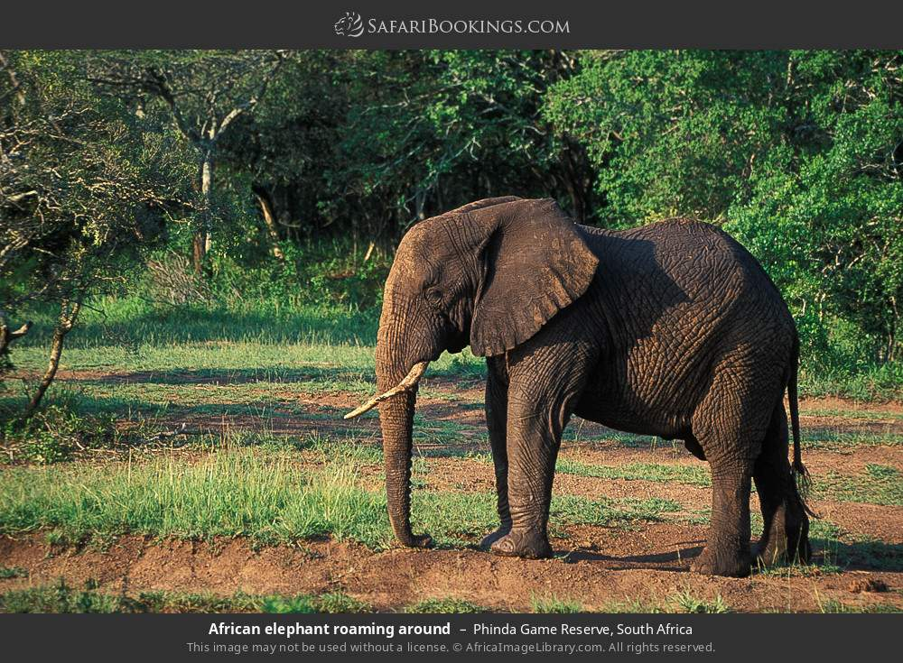African elephant roaming around in Phinda Game Reserve, South Africa
