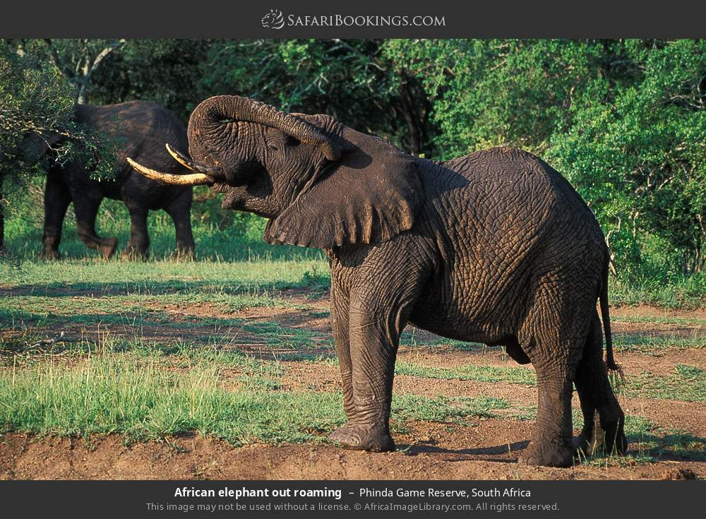 African elephant out roaming in Phinda Game Reserve, South Africa