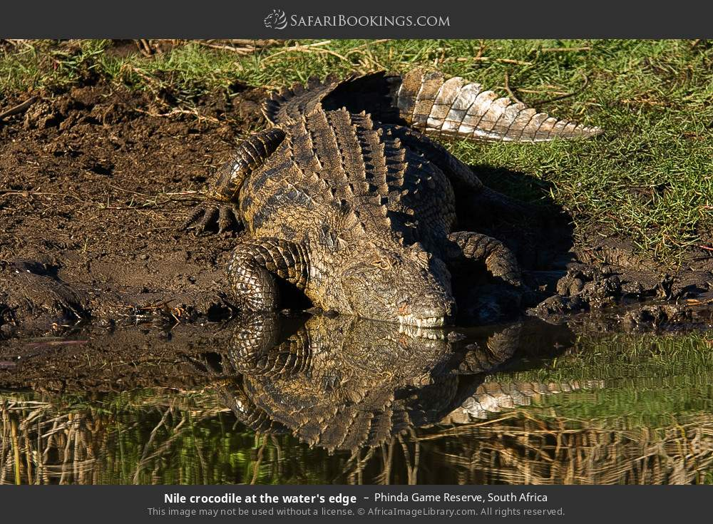Nile crocodile at the water's edge in Phinda Game Reserve, South Africa