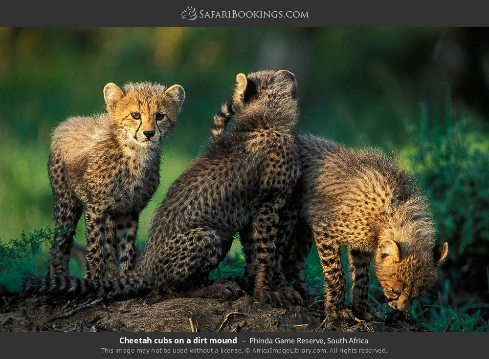 Cheetah cubs on a dirt mound in Phinda Game Reserve, South Africa