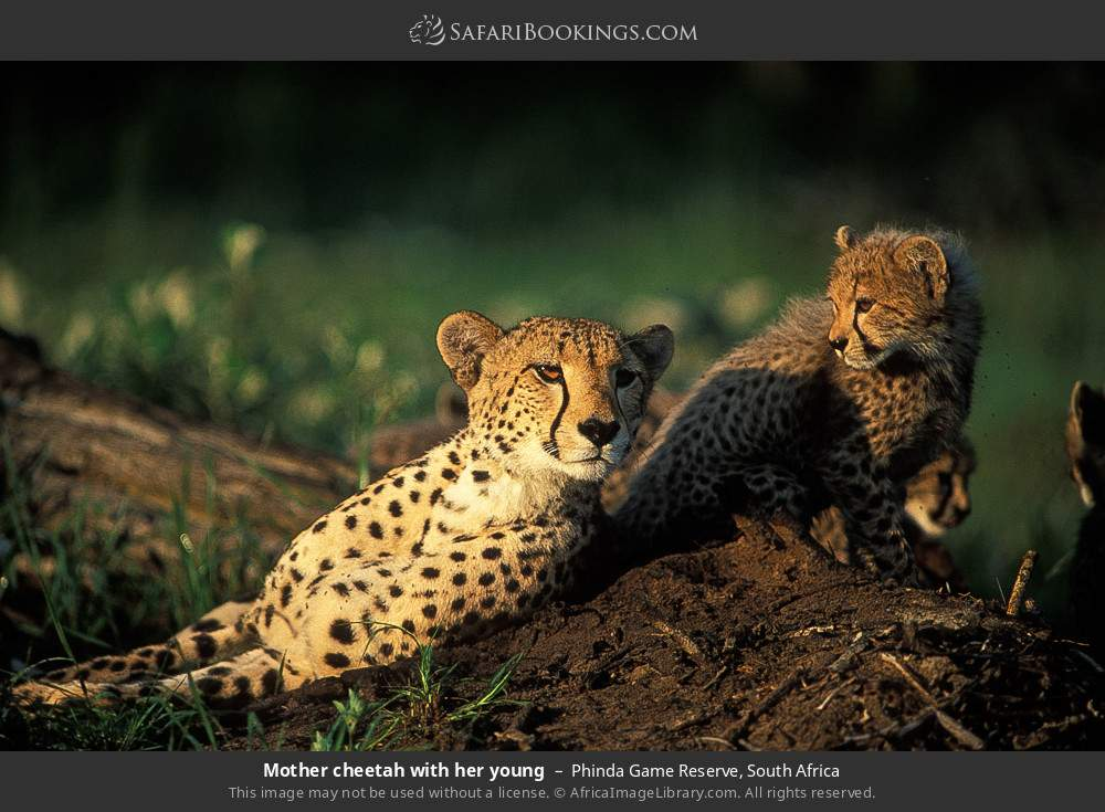 Mother cheetah with her young in Phinda Game Reserve, South Africa