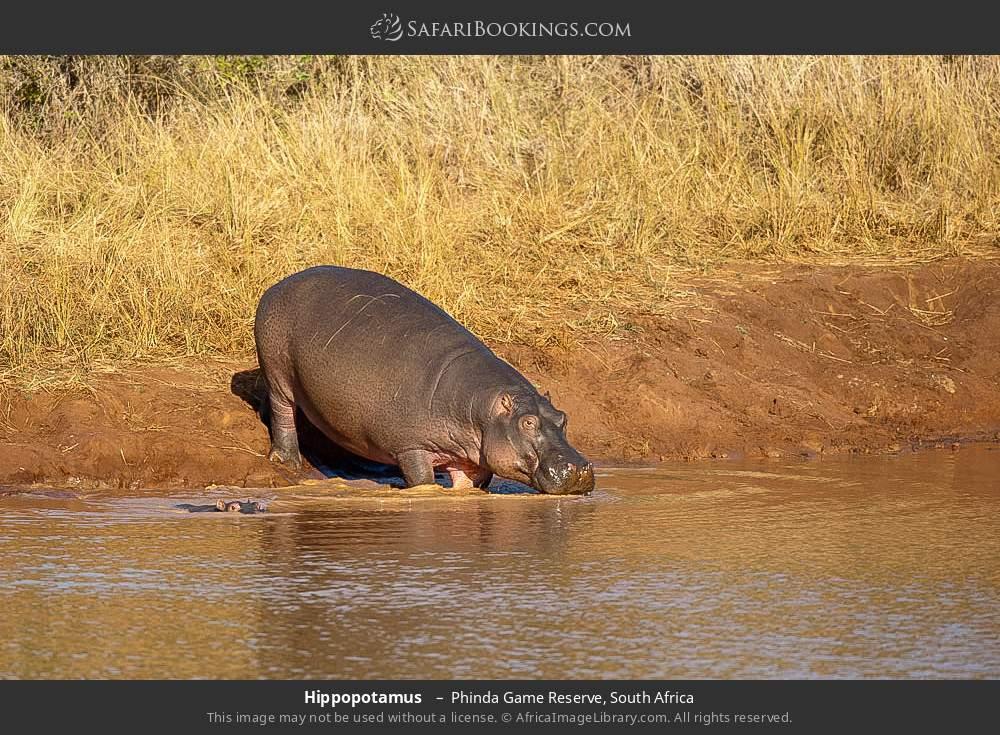 Hippopotamus  in Phinda Game Reserve, South Africa