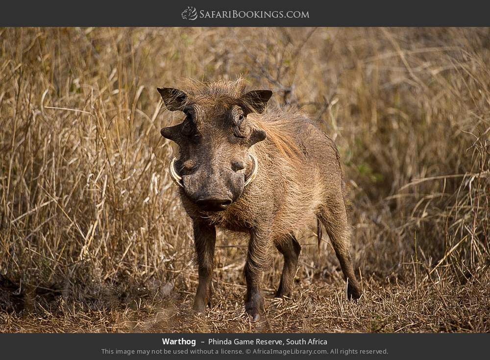 Warthog in Phinda Game Reserve, South Africa