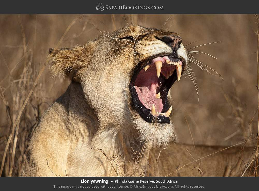 Lion yawning in Phinda Game Reserve, South Africa