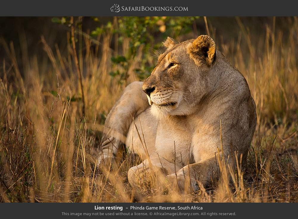 Lion resting in Phinda Game Reserve, South Africa