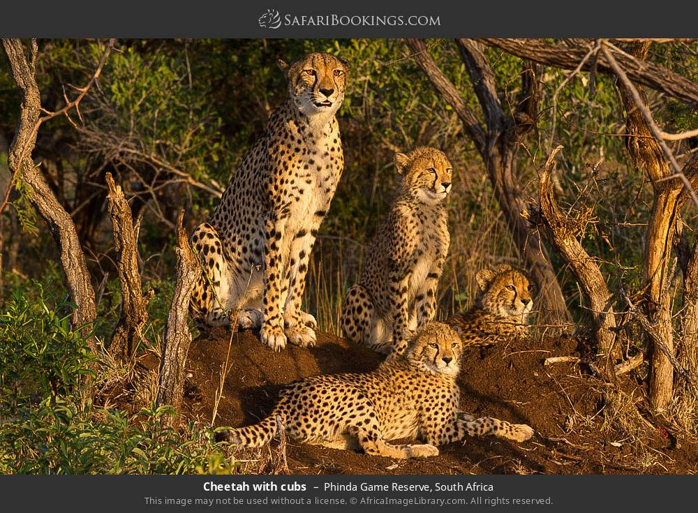Cheetah with cubs in Phinda Game Reserve, South Africa