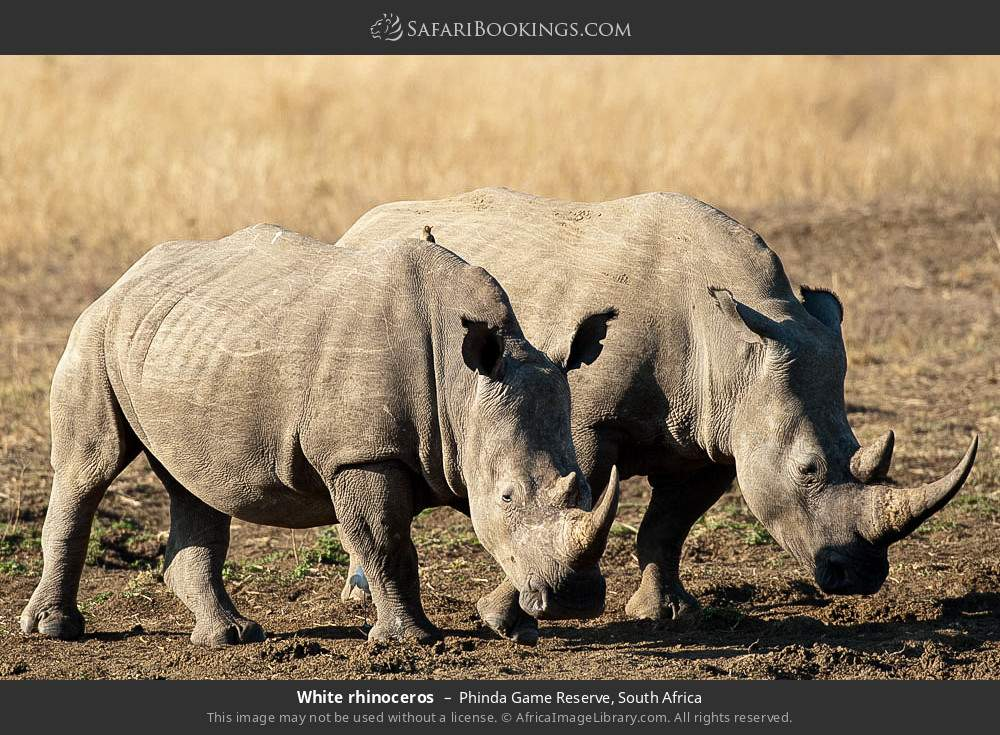 White rhinoceros in Phinda Game Reserve, South Africa