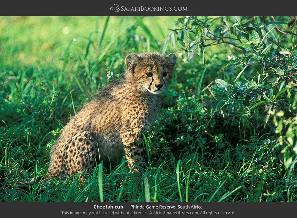 Cheetah cub in Phinda Game Reserve, South Africa