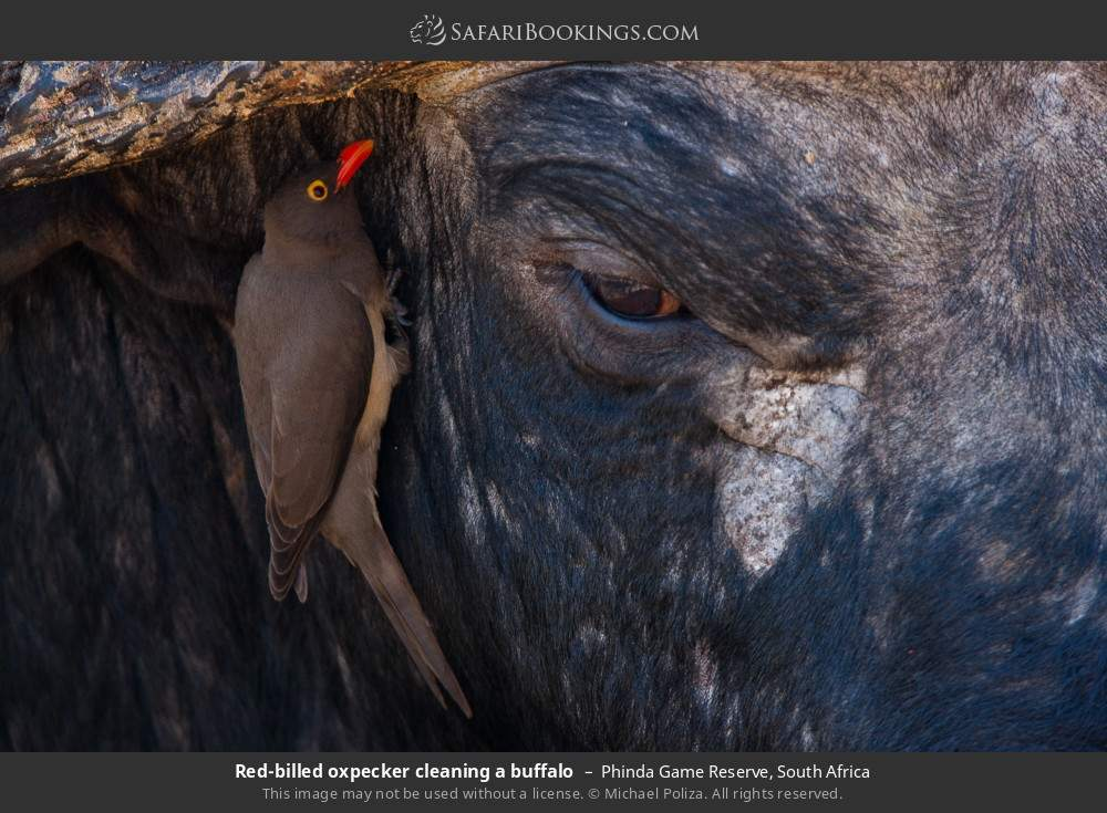 Red-billed oxpecker cleaning a buffalo in Phinda Game Reserve, South Africa