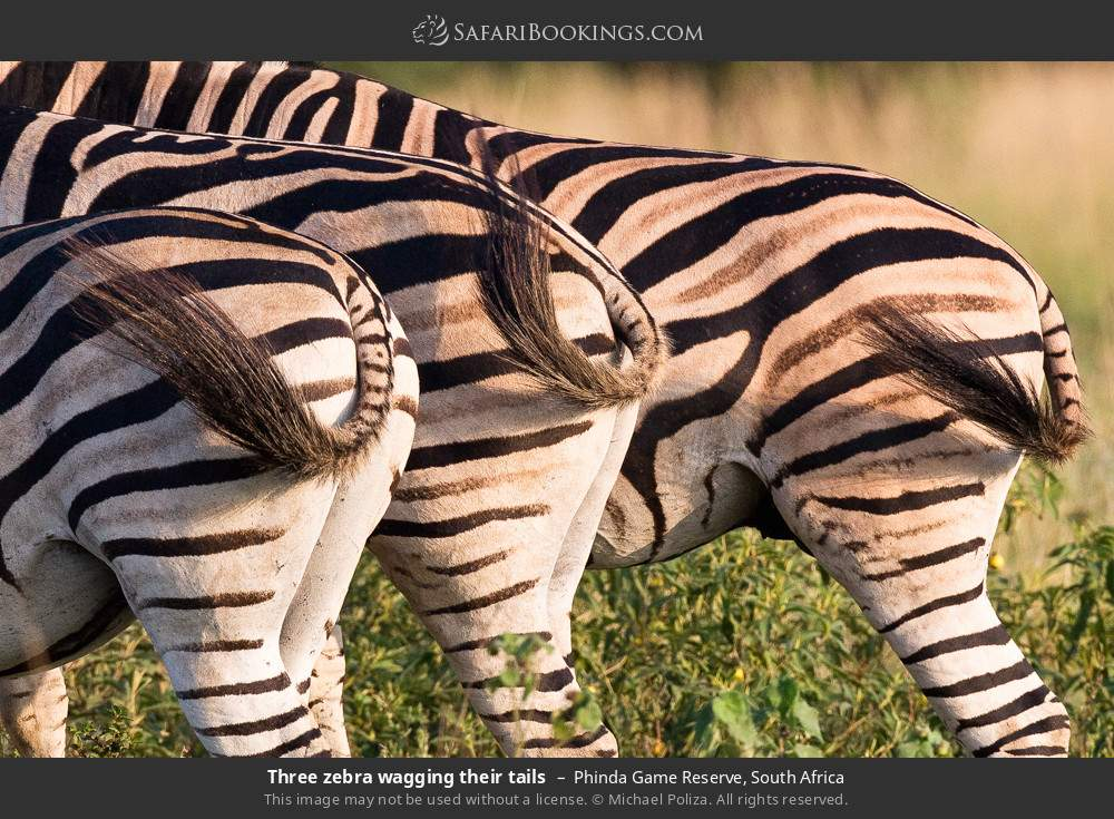 Three zebra wagging their tails in Phinda Game Reserve, South Africa