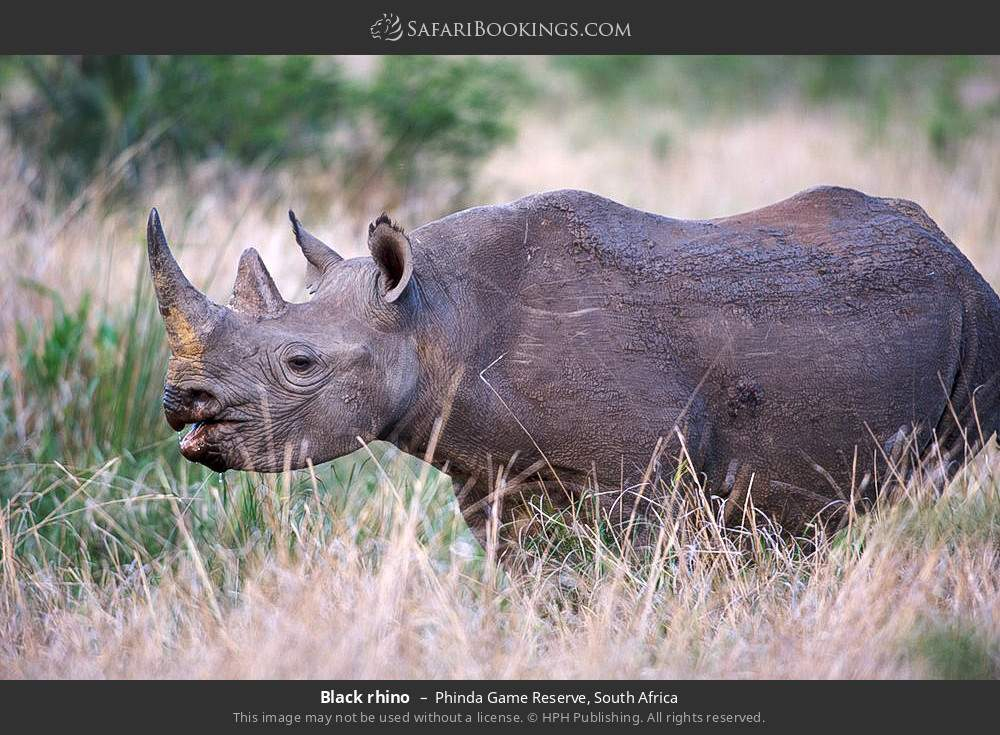 Black rhino in Phinda Game Reserve, South Africa
