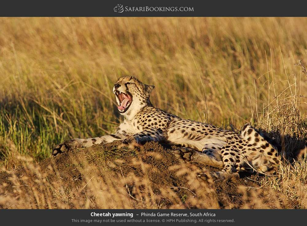 Cheetah yawning in Phinda Game Reserve, South Africa