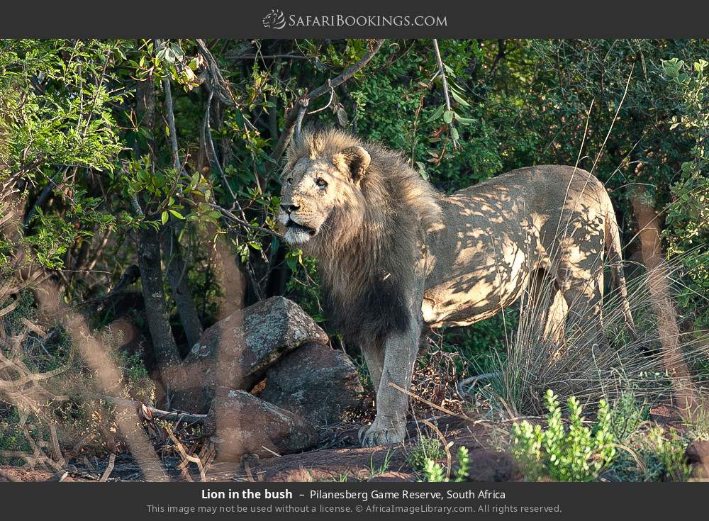 Lion in the bush in Pilanesberg Game Reserve, South Africa