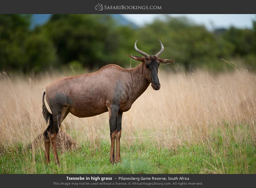 Tsessebe in high grass in Pilanesberg Game Reserve, South Africa